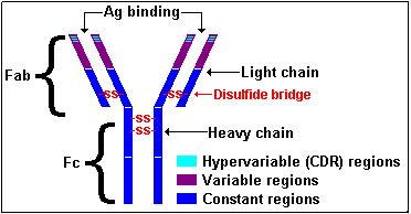 Basic Immunoglobilin Structure