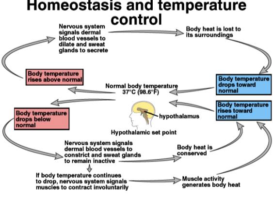 Negative feedback regulation of temperature