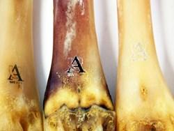 Deer Polishing Bones
