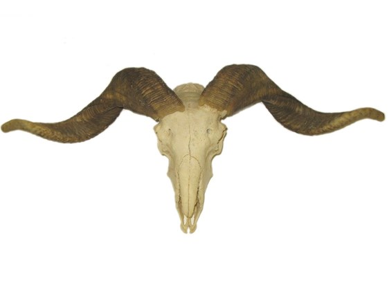 Rams Horns On Skull