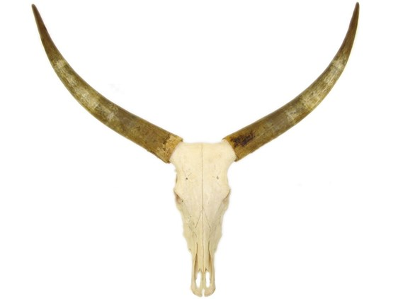 Raw Horns On Skull
