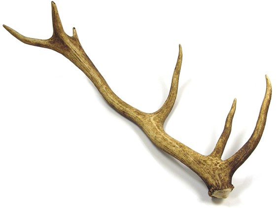 Stag Antler - Whole