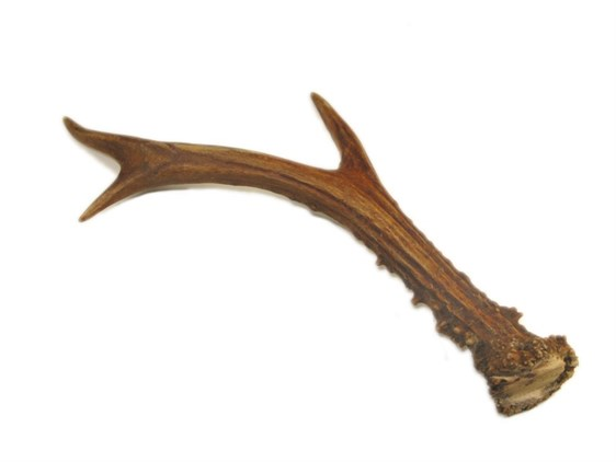 Whole Roe Deer Antler