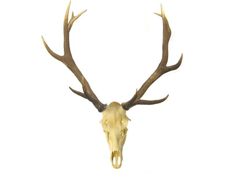 Stag Antler On Skull