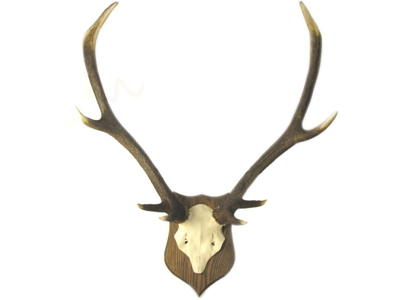 Stag Antler On Skull - Mounted