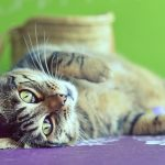 Cute cat lying belly up at home