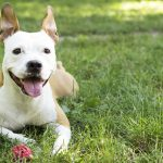 American Staffordshire Terrier playing in the park