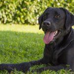 portrait of female Labrador retriever
