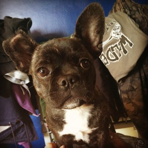 Flo the French Bulldog