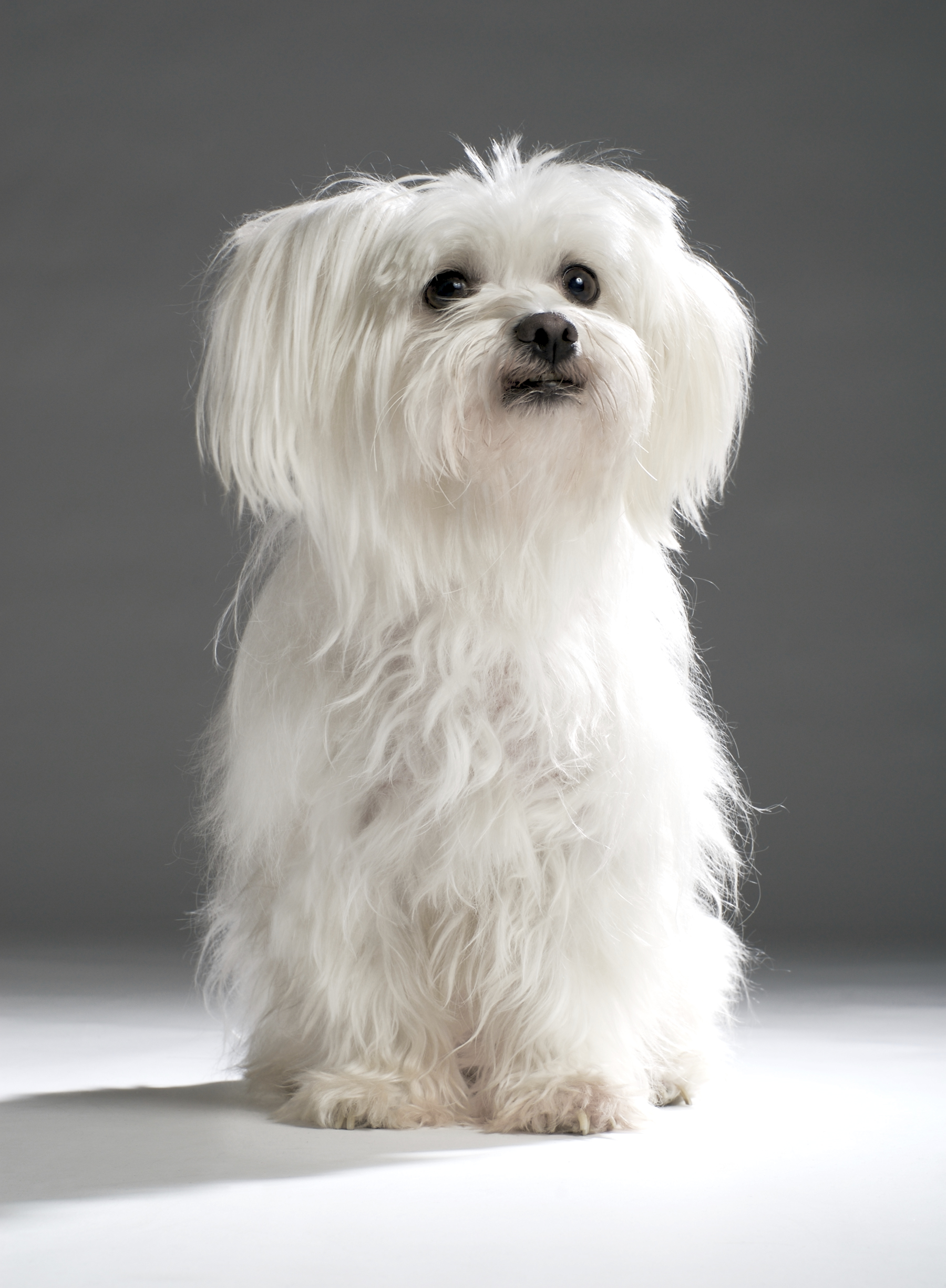 Studio shot of a white Maltese terrier isolated on a dark background.