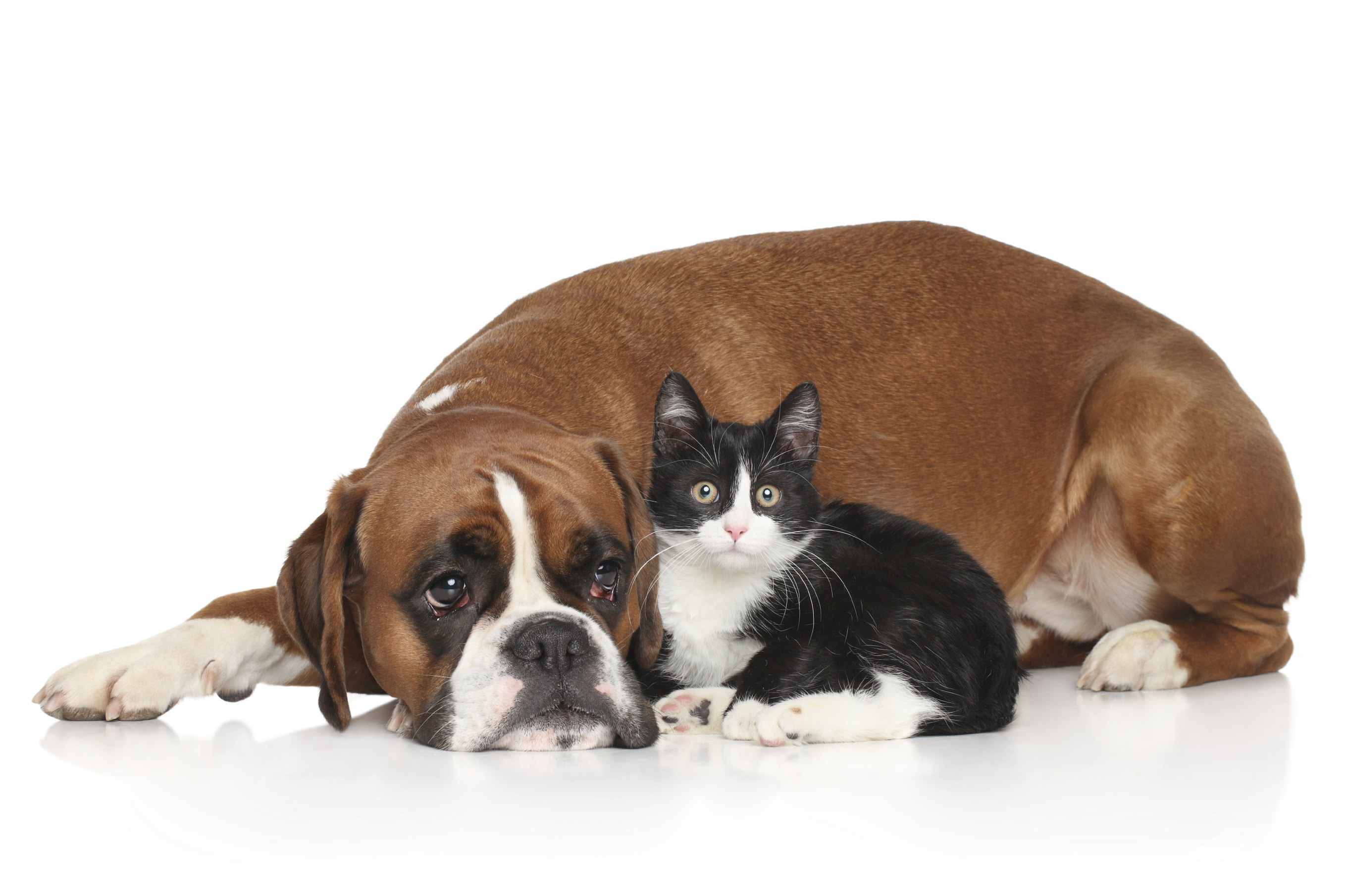 Dog and Cat together lying down on white background