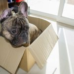 French bulldog in a box.