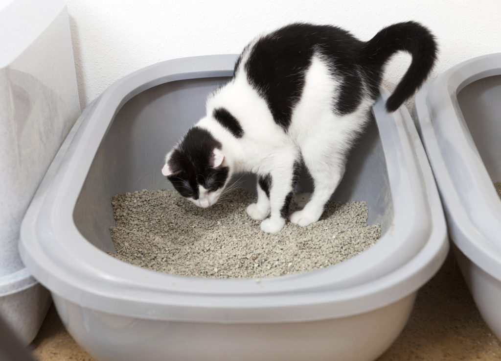 Black white cat uses litter tray