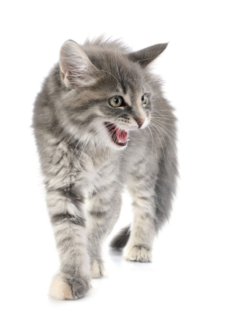 Why Does My Cat Keep Meowing?