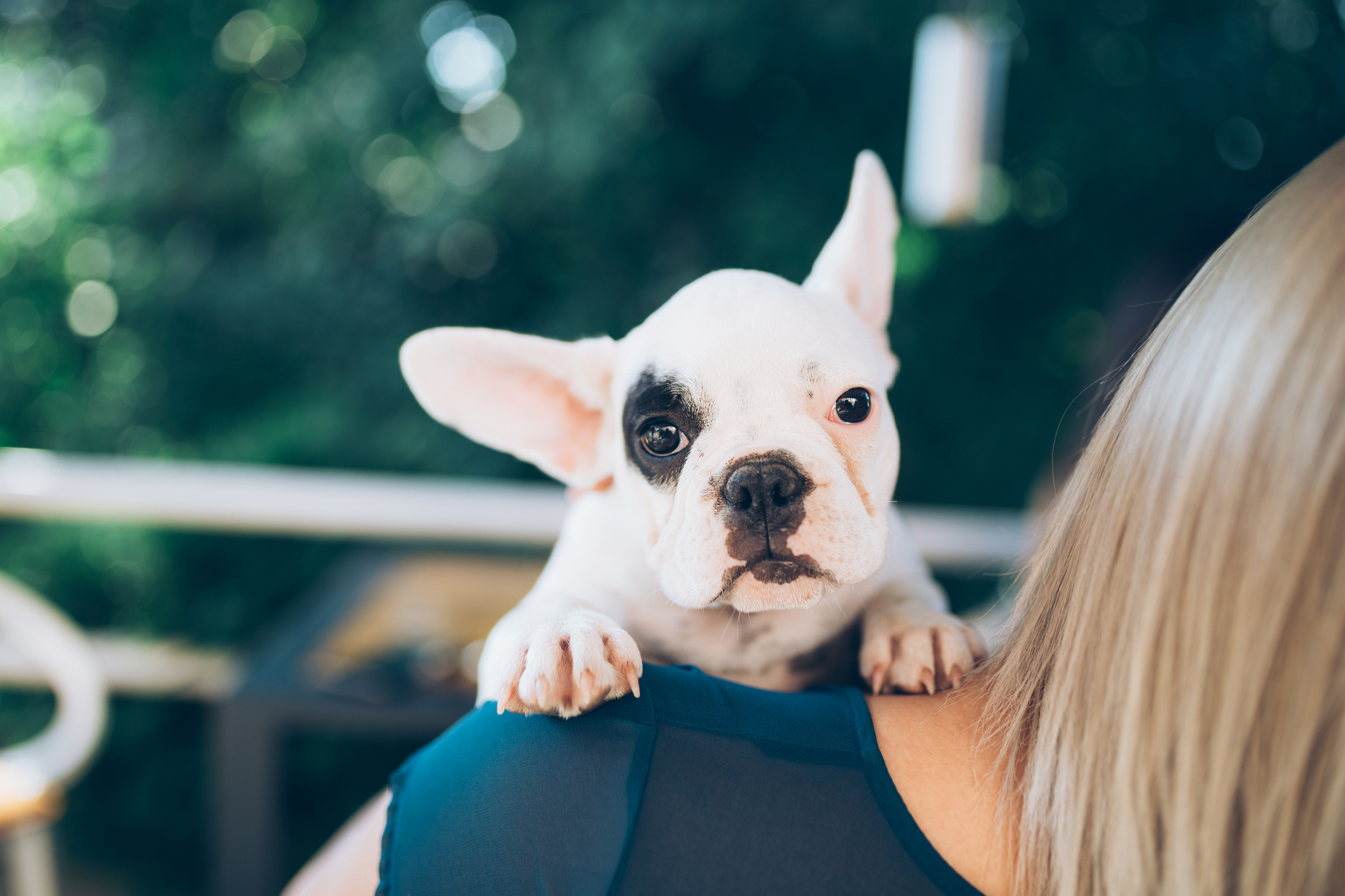 Young blond girl holding adorable French bulldog puppy.
