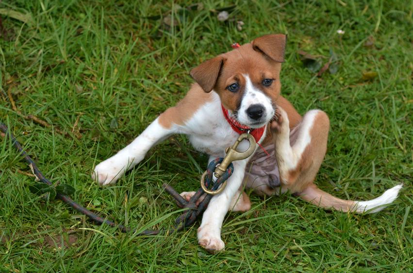 Little puppy Foxhound dog is scratching on green grass background.