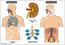 Ademhaling en uitscheiding XL