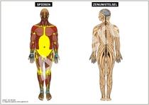Spieren en Zenuwstelsel XXL