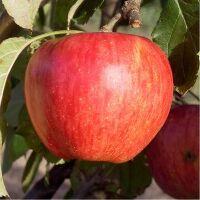 Pomme Calville rouge bio