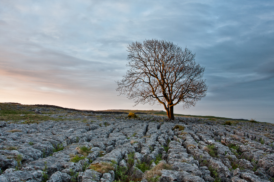 Lone Tree on Limestone Pavement, Malham, Yorkshire