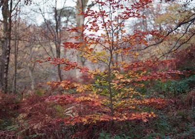 Beech Tree, Padley Gorge