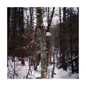 Birch and Fungi, Limb Valley