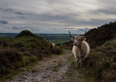 Highland Cattle, Baslow Edge, Derbyshire Peak District