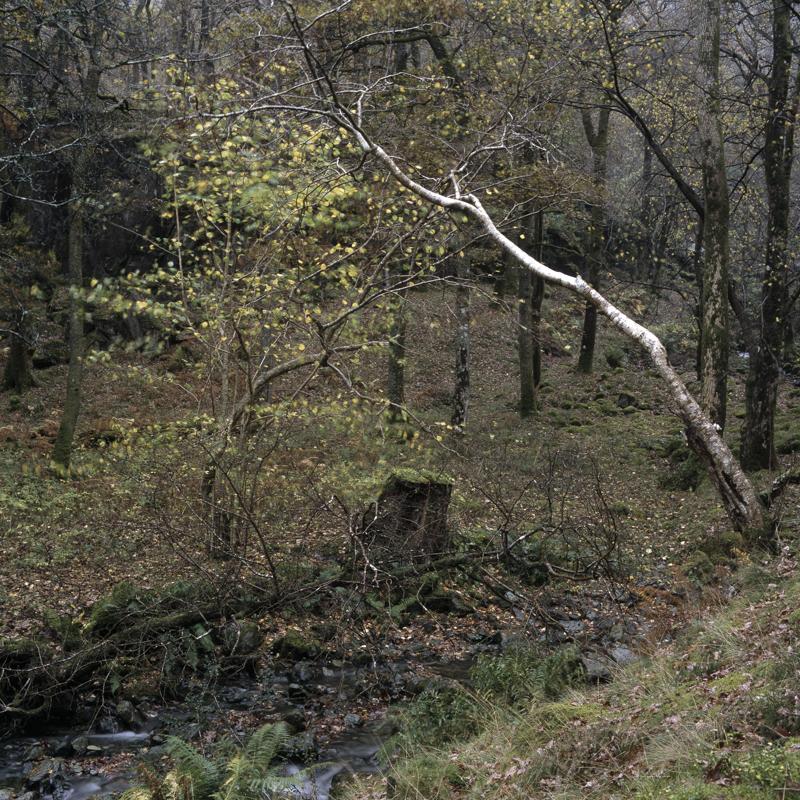 Borrowdale Birch, Lake District, landscape photography