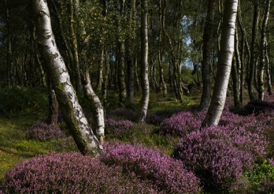 """Birch, Heather, Rock"", Stanton Moor, Peak District"
