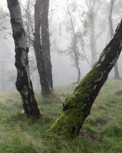 Moss and Birch, Bolehill Quarry, Peak District