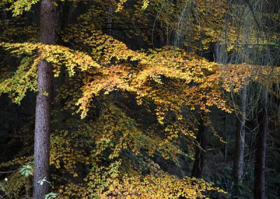 Golden Touch of Autumn, Wyming Brook, Sheffield