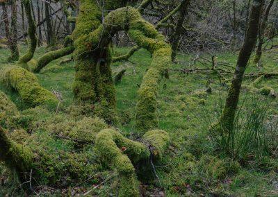 Ariundle Woods II, Ardnamurchan