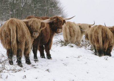 Highland Cattle, Longstone Moor, Peak District