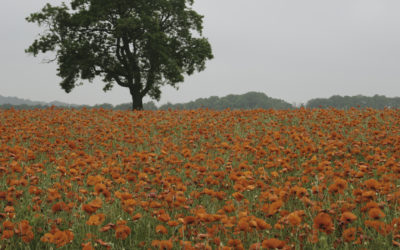Peak District Poppies
