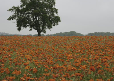 Poppy Field near Hassop in the Peak District