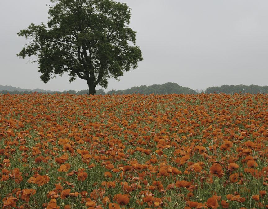 Peak District Poppies