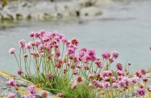 The Sea Pink or Sea Thrift on Skye - Armeria Maritima