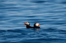 The Puffins - (Tirips from Uig) Thanks to our guests Anja and Robert!!