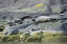 Seals nr Loch Coruisk