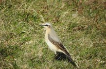 Wheatear - Neist Point