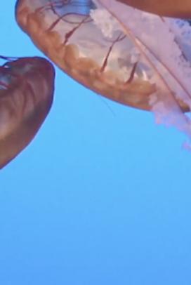 Live Jelly Cam at Monterey Bay Aquarium