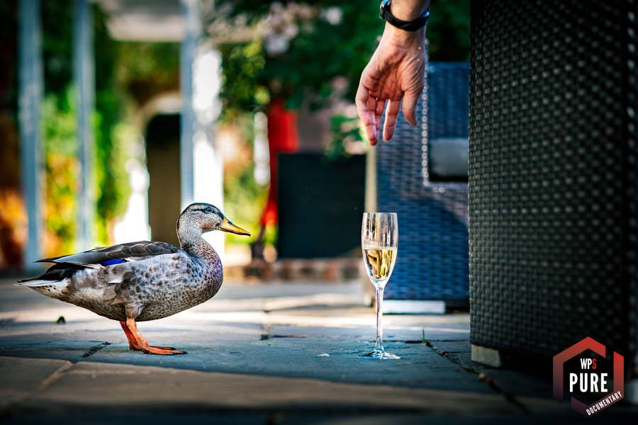 Duck trying to drink champagne at wedding