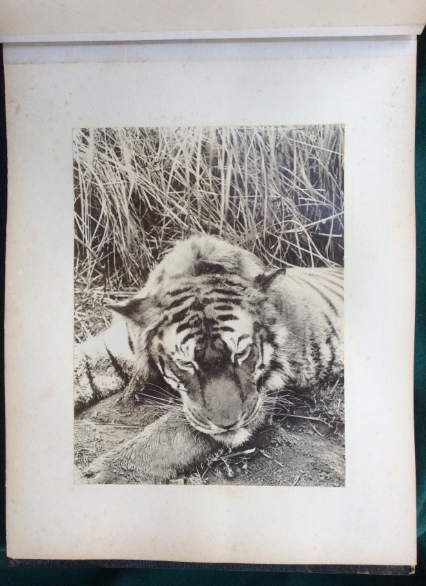 [INDIA, Big Game Hunting ] An album of 43 mounted photographs, the majority of Big Game shot by Howard-Bury.