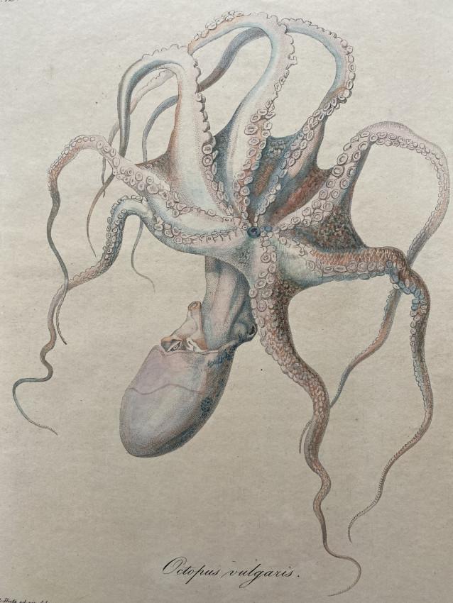 [Cephalopods] Icones Sepiarum, in litore maris Mediterranei collectarum. Cum tabuis V. aeneis pictis.