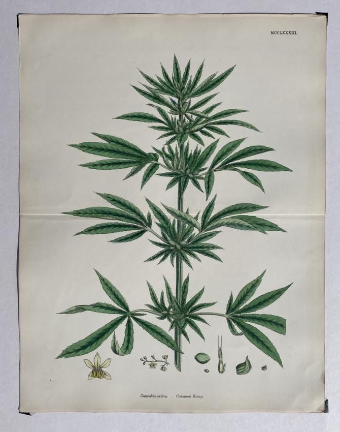 """""""Cannabis Sativa. Common Hemp"""","""