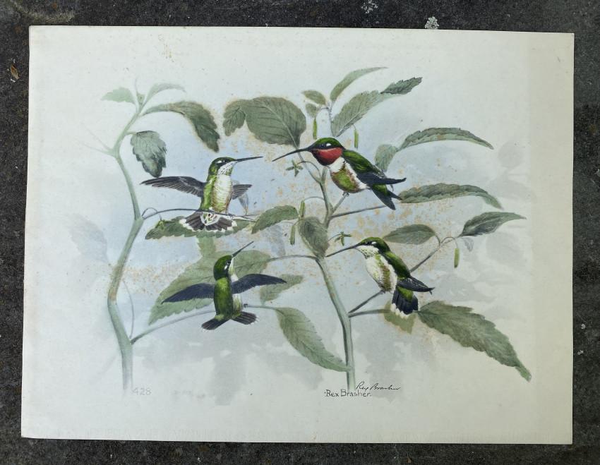 [Rubythroat Hummingbird]