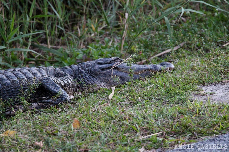 Visitar los Everglades de Florida, entre caimanes y pantanos