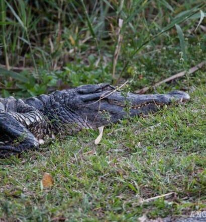 Visitar Everglades Florida desde Miami caiman