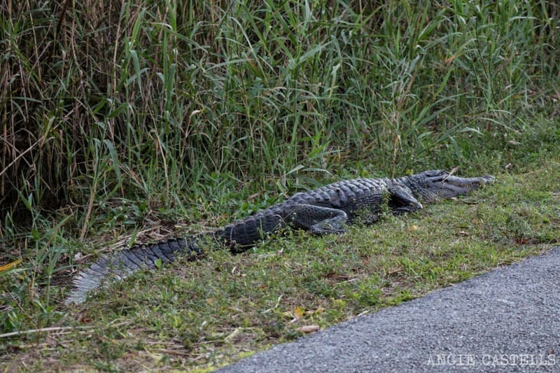 Visitar Everglades Florida excursiones caimanes