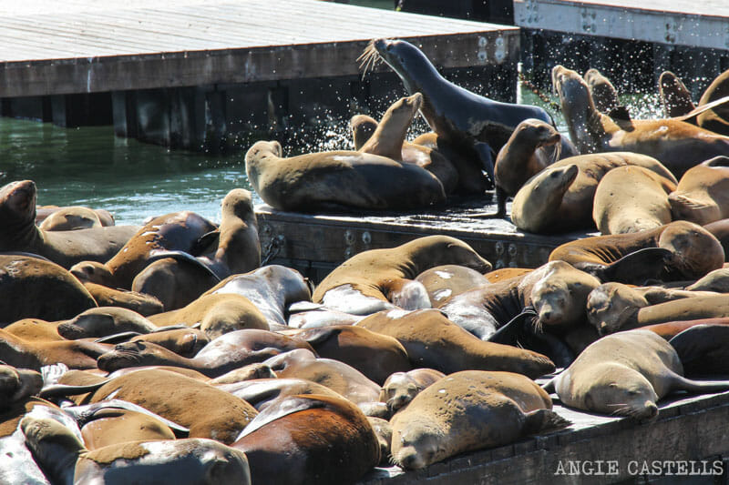 Qué ver en San Francisco: Leones Marinos Pier 39